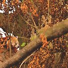 Red Panda Sleeping by IAmPaul