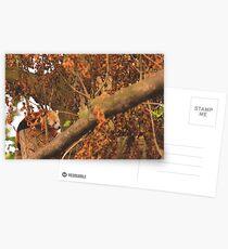 Red Panda Sleeping Postcards