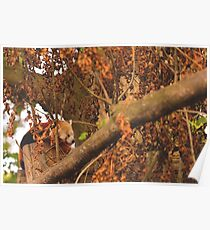 Red Panda Sleeping Poster