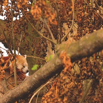 Red Panda Sleeping by IAmPaul