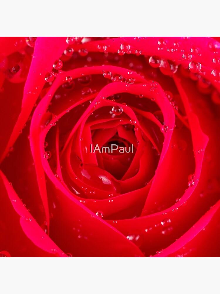 Rose Macro by IAmPaul