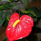 Anthurium  by Ana Belaj