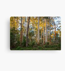 Karri forest at sunrise Canvas Print