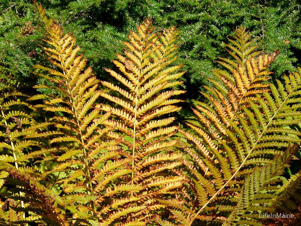Fall Ferns by LifeInMaine