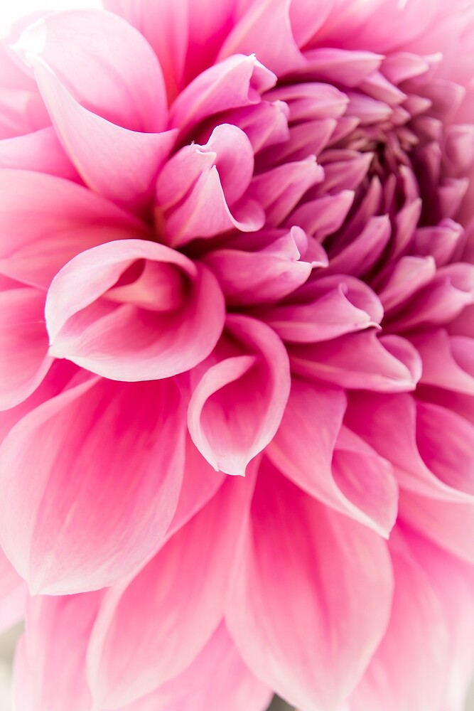 Dahlia in Pink by HLGlenn