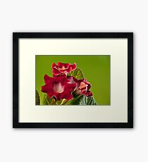 red Indoor flowers gloxinia Framed Print