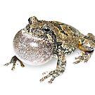 Gray Treefrog - whitebox by Dave Huth