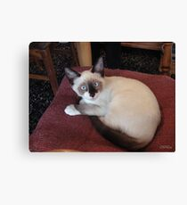 Meet Mick (Purebred Snowshoe) Canvas Print
