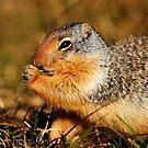 Glacier Squirrel 3 by artsphotoshop