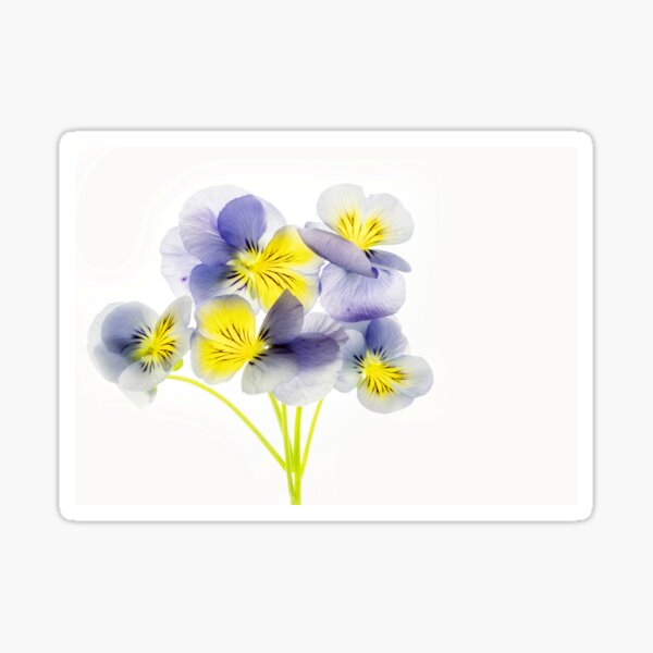 Violas Sticker