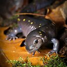Spotted Salamander (walking on leaves) by Dave Huth