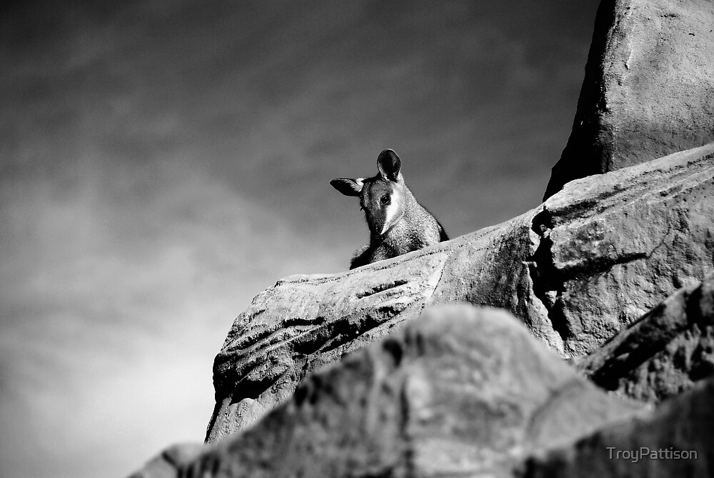 Rock Wallaby by TroyPattison