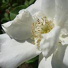 Morden Snow Beauty Rose by Diane Petker