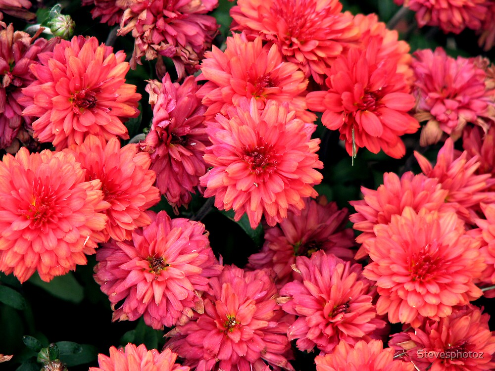 Red Mums by Stevesphotoz