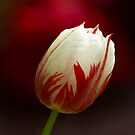 Red and White Tulip by dduhaime55