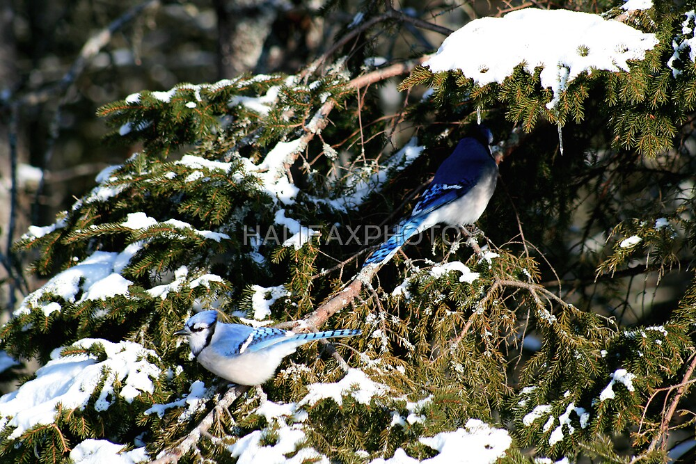 Blue Jays by HALIFAXPHOTO
