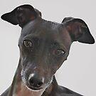Piccolo Levriero Italiano - The Italian Greyhound by Christine Till  @    CT-Graphics