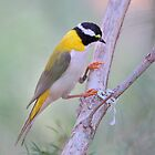 Black-chinned Honeyeater by Carole-Anne