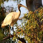 Australian White Ibis (3327) by Emmy Silvius