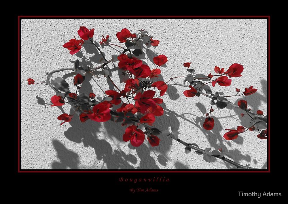 Bouganvillia by Timothy Adams