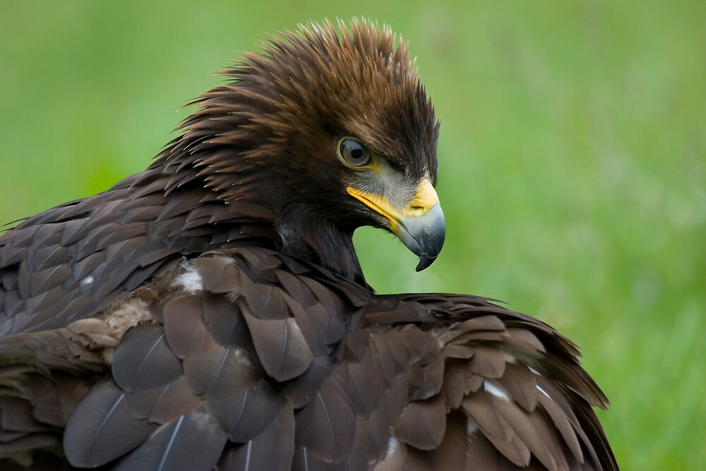 Golden Eagle by Captivelight