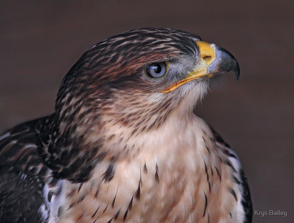 Handsome Hawk by Krys Bailey