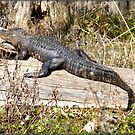 Gator in the Sun by BShirey