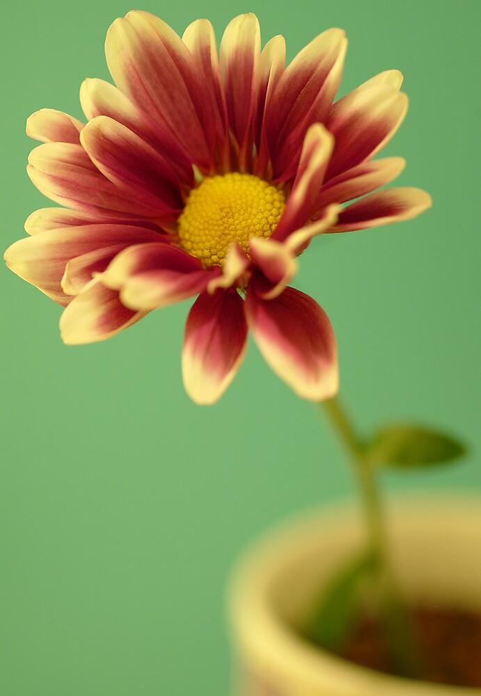 Pink Dahlia by NiamhPhoto