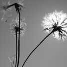 Seedhead in Black and White by Pamela Jayne Smith