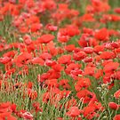 Poppy Field by Pamela Jayne Smith