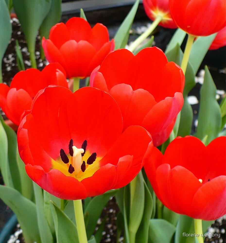 Tulip Parade by florene welebny
