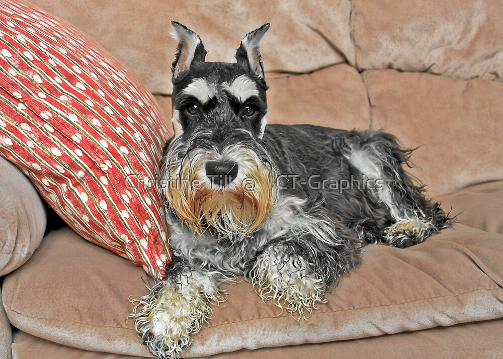 Miniature Schnauzer - Brave and Funny by Christine Till  @    CT-Graphics