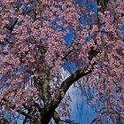 Spring. Blooming Tree. by vadim19