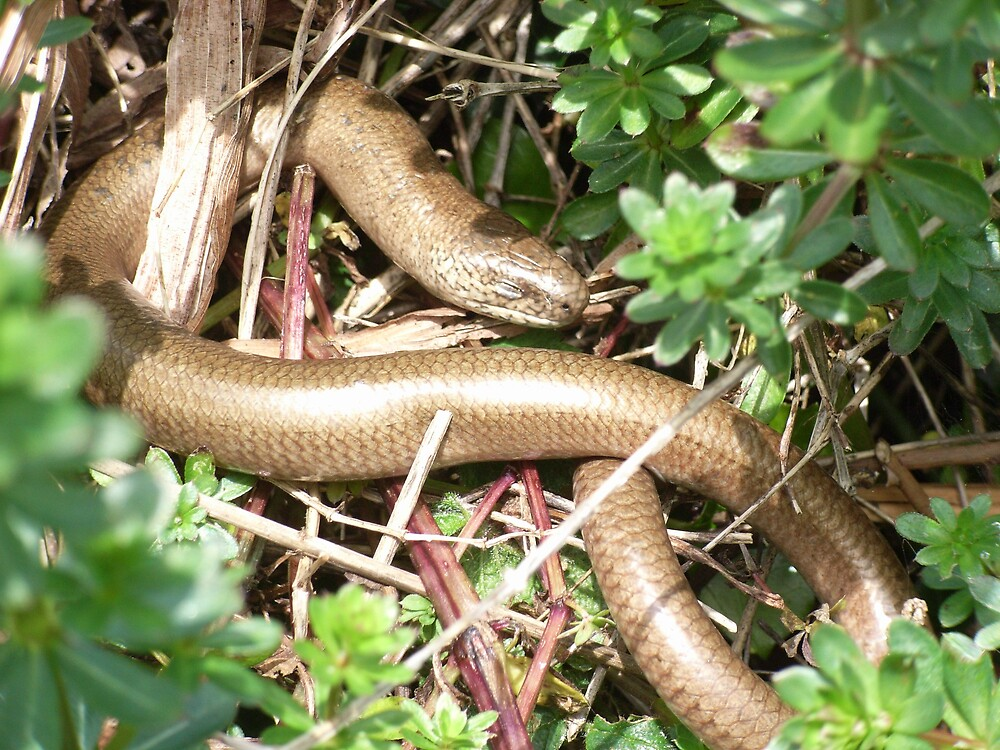 Slow Worm by winterhare