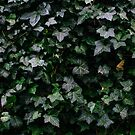 Ivy by smithandcompany