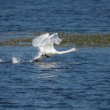 Mute Swan Takeoff by kernuak