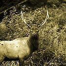 Young King Elk ;) by artsphotoshop
