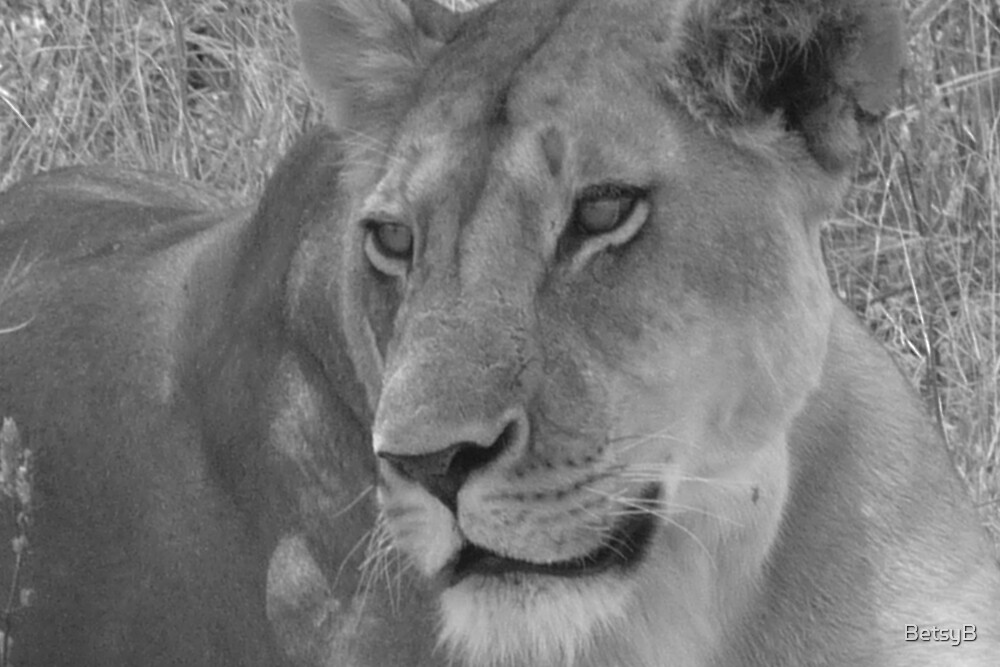 Lion female b&w by BetsyB