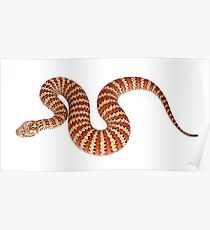 Common Death Adder (Acanthophis antarcticus) Poster