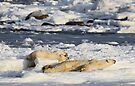 Polar Bear Mother & Cub Grooming Enthusiastically  by Carole-Anne
