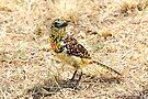 d'Arnaud's Barbet, Serengeti, Tanzania  by Carole-Anne