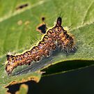 Grey Dagger Moth Larva by MikeSquires