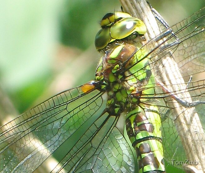 Green Winged Little Fellow by TomZmb