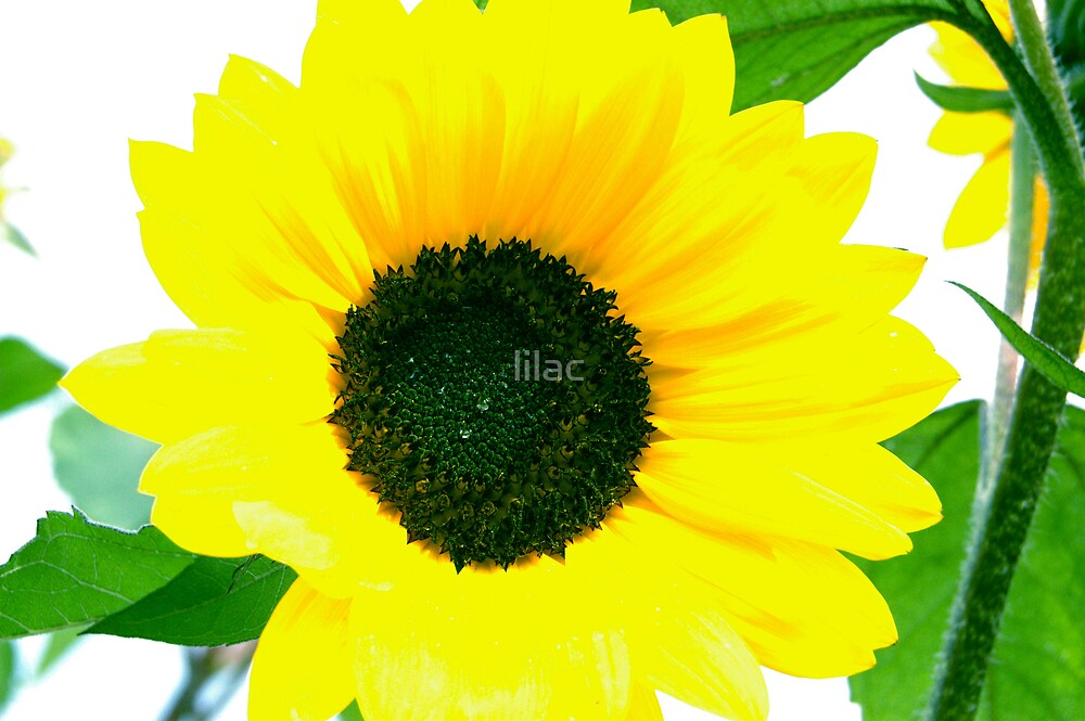 Sunflower by lilac