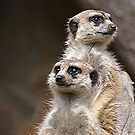 Meerkats........You look that way and I'll look this way.......!! by Roy  Massicks