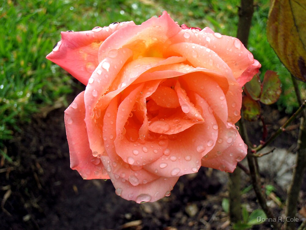 Peach Rose by Donna R. Cole