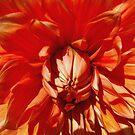 Orange Dahlia by John Schneider