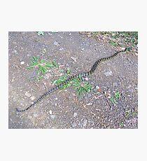 Python-Stretch- Photographic Print