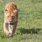 Lioness (Panthera leo massaica) by Yair Karelic