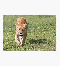 Lioness (Panthera leo massaica) Photographic Print